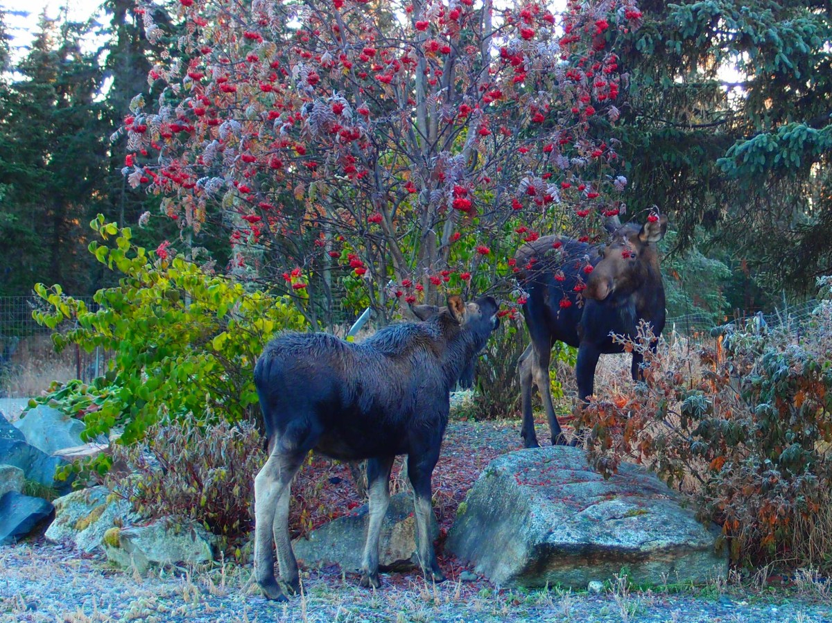 Moose Breakfast