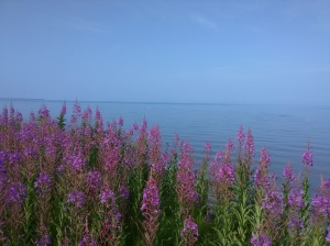 Fireweed on the Bluff